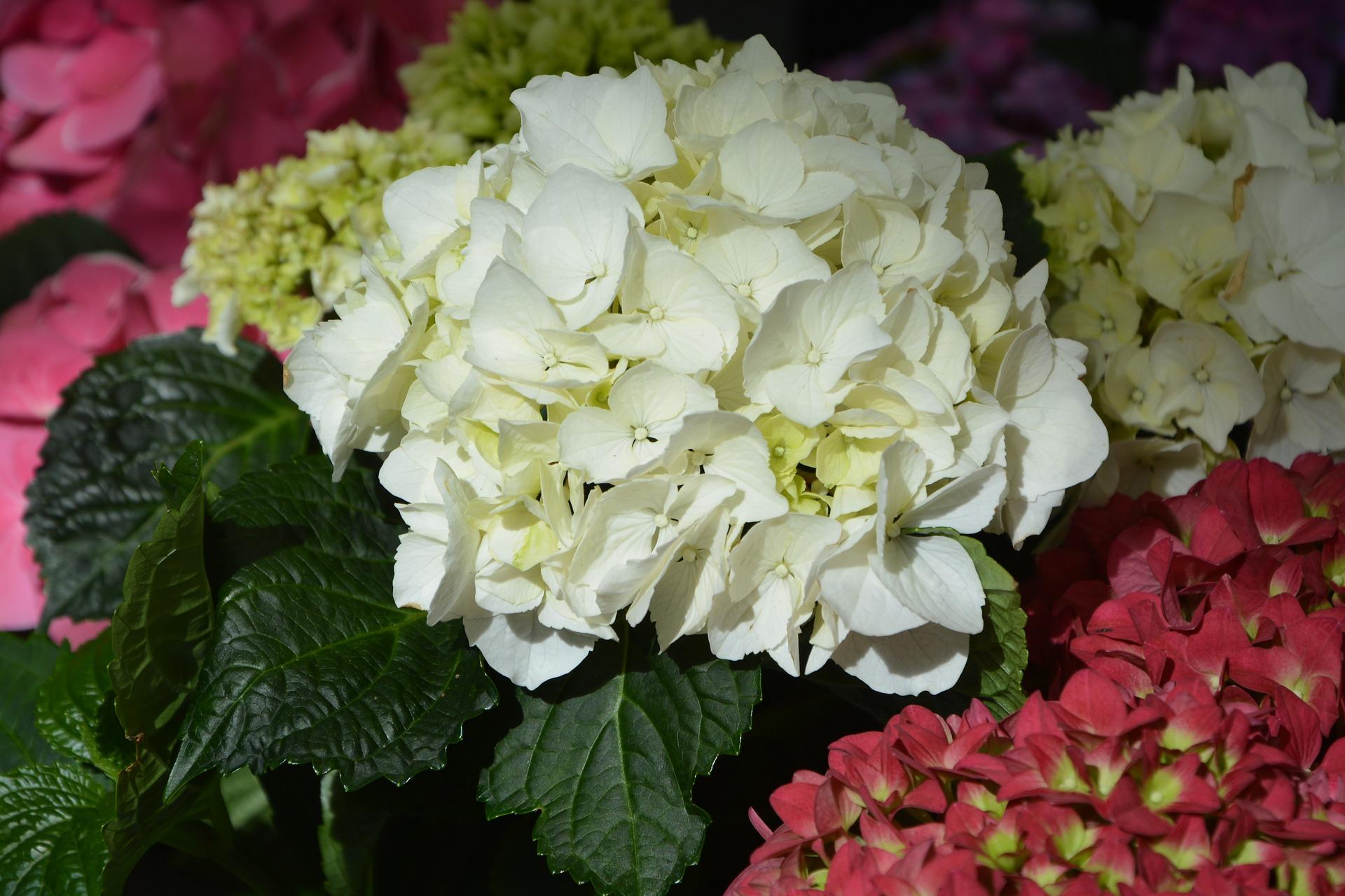 Ortensie Bianche Come Curarle le piante perenni che non possono mancare sul vostro balcone